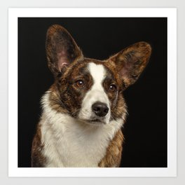 Portrait of a dog of the breed Welsh Corgi Cardigan on a black background Art Print