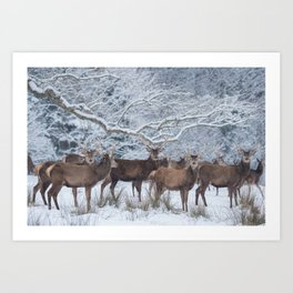 Red deers  from wintry Killarney National Park Art Print