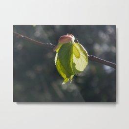 lime tree leaf in backlight Metal Print