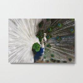 Blue White Peacock Metal Print