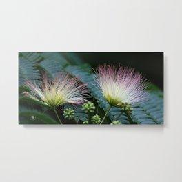 Mimosa Blossoms Metal Print