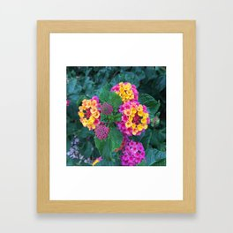 Yellow and Pink Lantanas Framed Art Print