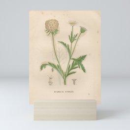 Flower scabiosa stellata2 Mini Art Print