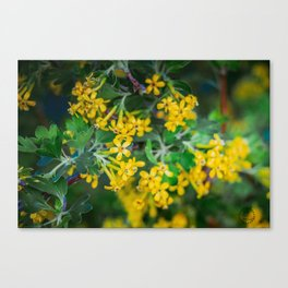 Yellow Blossoms 4 Canvas Print