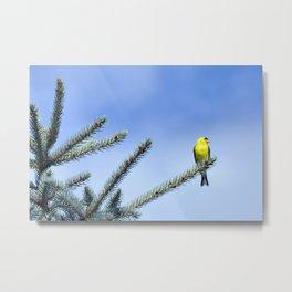Bird's Eye Blue (American Goldfinch on Blue Spruce) Metal Print