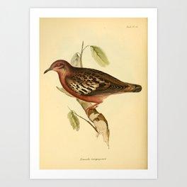 The Zoology of the Voyage of HMS Beagle 1840 - Birds 46: Zenaida galapagoensis Art Print