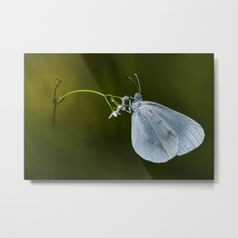 "Lady white butterfly ""Lepidea sinapis"" Metal Print"