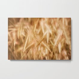 Golden ripe cereal ears grow on field Metal Print