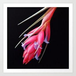 """Tillandsia """"Red Devil"""" Art Print"""