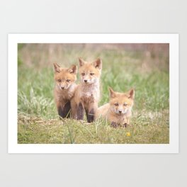 Siblings Baby Red Foxes in Field Animal / Wildlife Photograph Art Print