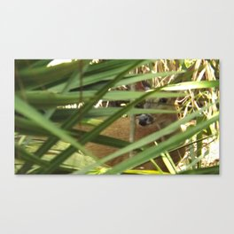 Peek-a-boo Deer Canvas Print