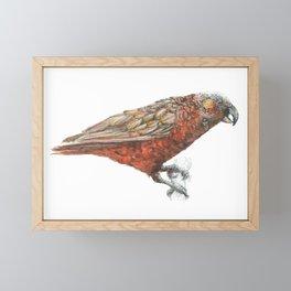 New Zealand parrot, the Kaka Framed Mini Art Print