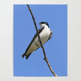 Handsome Male Tree Swallow on a Branch Poster