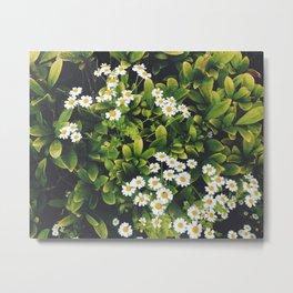 Flower. Feverfew. Metal Print