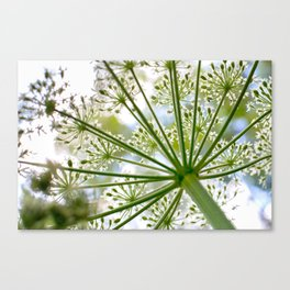 Delicate cow parsley Canvas Print