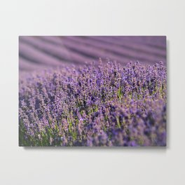 Hampshire Lavender Metal Print