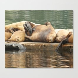 Sleeping Sea Lions Photography Print Canvas Print