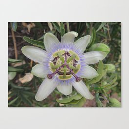 Passion Flower Blossom Canvas Print