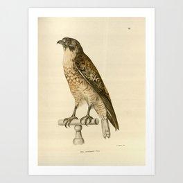 buteo poecilogaster Art Print