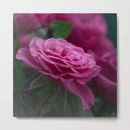 Magnificent Pink Rose Metal Print