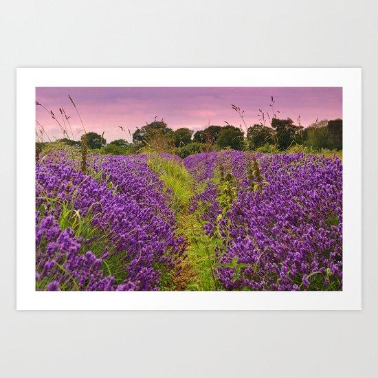 A Norfolk Lavender Field, UK  (Lavandula) Art Print