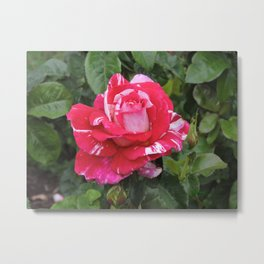 "A Rose Named ""Neil Diamond"" Metal Print"