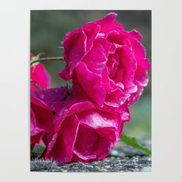 Lying roses covered by raindrops Poster