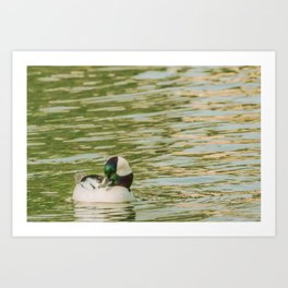 Bird - Bufflehead - Study 2 Art Print