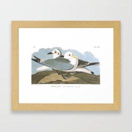 Kittiwake Gull by John Audubon Framed Art Print