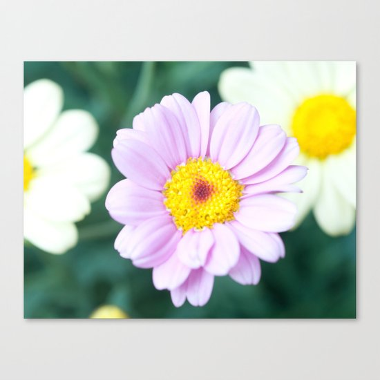 Soft Pink Marguerite Daisy Flower #1 #decor #art #society6 Canvas Print