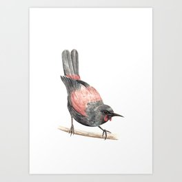 Tieke / Saddleback - a native New Zealand bird 2013 Art Print