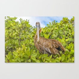 Big Pelican at Tree, Galapagos, Ecuador Canvas Print