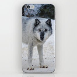 Lone wolf of the Canadian Rocky Mountains iPhone Skin