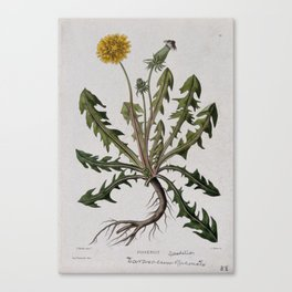 Botanical Dandelion Canvas Print