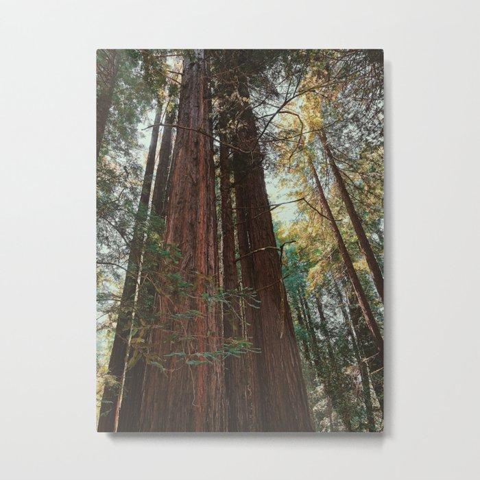 Redwood Trees Metal Print