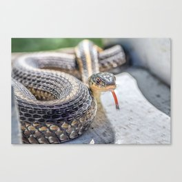 Garter snake with its tongue out Canvas Print