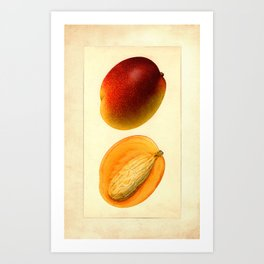 Vintage Botanical Mango Art Print