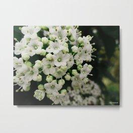 Spring Flowering Shrub Metal Print