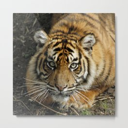 Tiger 2014-0801 Metal Print