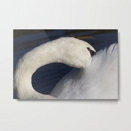 Swan Shyness Metal Print