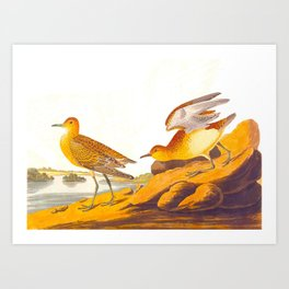 Buff-breasted Sandpiper Bird Art Print