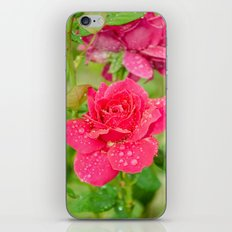 Rose after rain iPhone & iPod Skin
