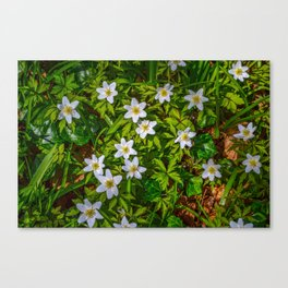 Mylor Walk - Wood Anemone Canvas Print