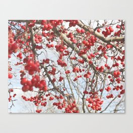 Choking Cherry Tree Photograph Red Berries with Blue Sky Canvas Print