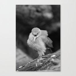 Bird - Furnarius Angry Canvas Print