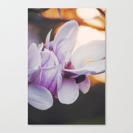 Magnolia in Bloom, 3 Canvas Print