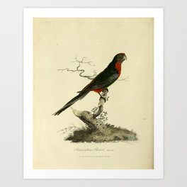"""Pennantian Parrot, female"" by Sarah Stone, 1790 Art Print"