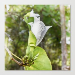 Delicate butterfly tree flower Canvas Print