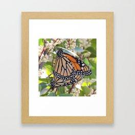 Monarch Mating Framed Art Print