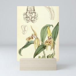 Flower 5072 coelogyne schilleriana Schiller s Coelogyne1 Mini Art Print